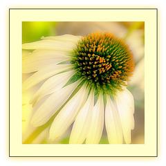 ~ Cone flower ~