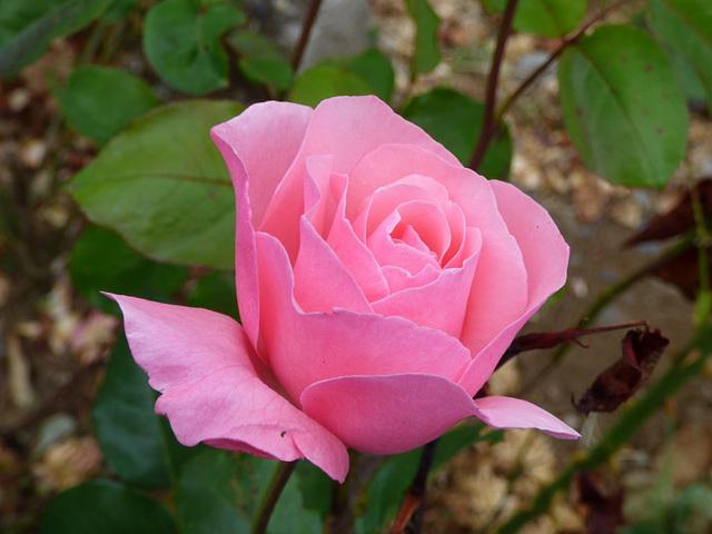 rosabonheur_rosa rosa