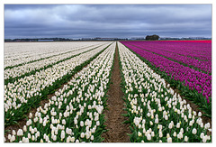 Tulip-Fields...