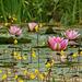 Wasserschlauch (Utricularia)