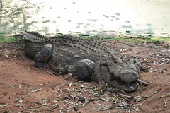 Tiu ulo kaj mi havas la saman aĝon. Krokodila bieno, Kazungula