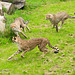 Cheetahs at play 1