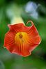 Rote Engelstrompete (Wilhelma)