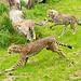 Cheetahs at play 2