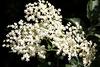 Holunderblüten - elderflowers - fleur de sureau