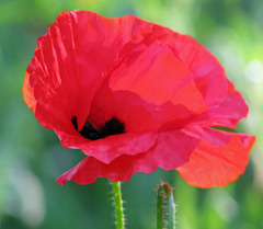 Color me Poppy