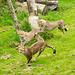Cheetahs at play 3