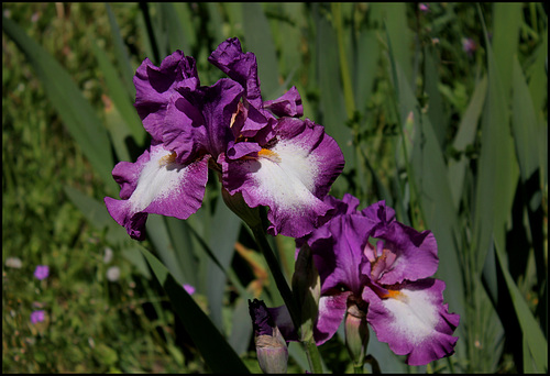 Iris Footloose (2)