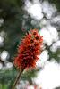 Blüten am Natal-Flaschenbaum (Wilhelma)