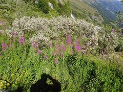 Schattengewächs in der Alpenflora