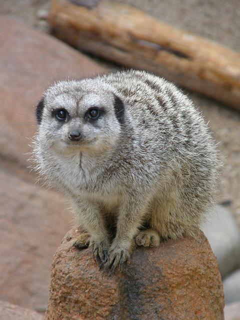 Meerkat at Waco Zoo