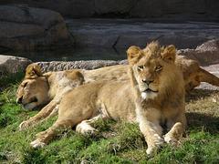 Lazy Lions at Waco Zoo
