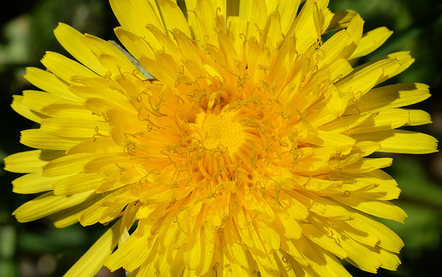 Anatomy of a dandelion