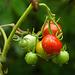 Tomaten nach dem Regen
