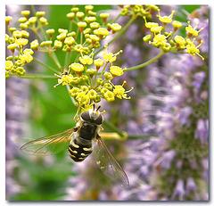 Scaeva pyrastri - Pied Hoverfly