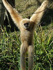 Gibbon at Waco Zoo
