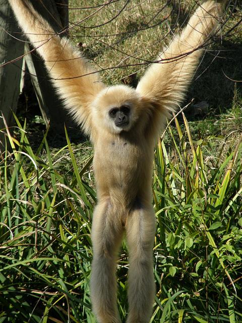 Gibbon at Waco Zoo