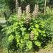 Akanthus mollis - Akanthos griechisch der 'Dornige'