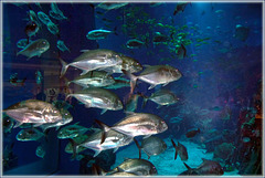the super aquarium in Dubai Mall (362)