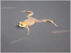 Erdkröte (Bufo bufo) [PiP]