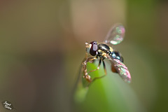 Pictures for Pam, Day 134: SSC: Hoverfly with Fairy Dust