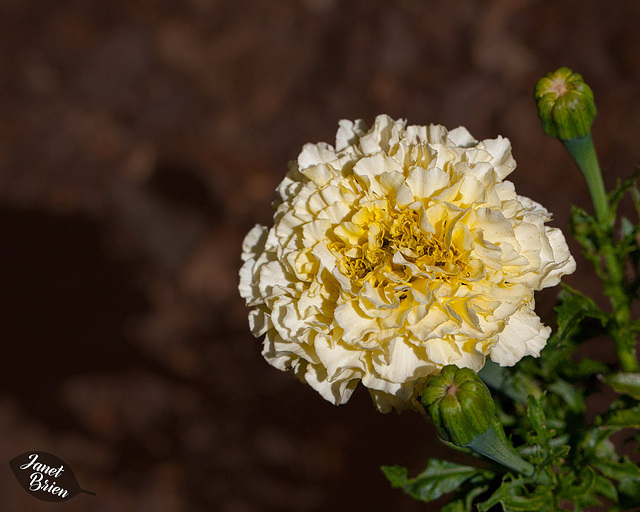231/366: Creamy Marigold