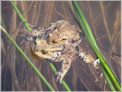 Erdkröten (Bufo bufo) bei der Paarung [PiP]
