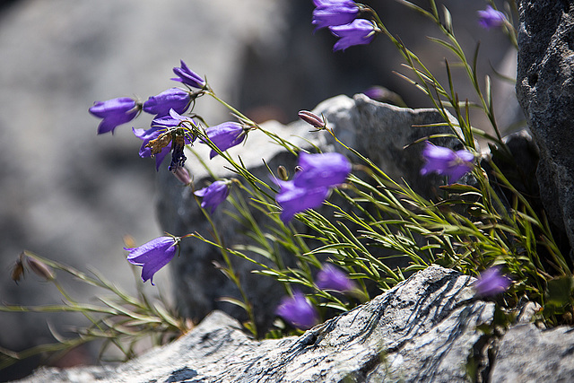 20150529 8305VRAw [R~F] Glockenblume, Gorges du Verdon, Cote d'Azur