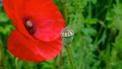 poppies perspective
