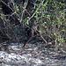 Varan verschindet im Gebüsch im Yala Nationalpark auf Sri Lanka