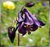 Akelei. (Aquilegia vulgaris) ©UdoSm
