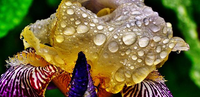 Iris. Raindrops