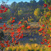 Rowan  moor     (Sorbus aucuparia)