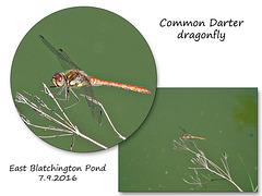 Common Darter dragonfly - East Blatchington Pond 7 9 2016