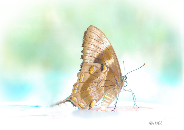 High Key  -  Sawtell Butterfly's
