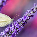Macro - Cabbage white butterfly