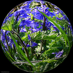 Bluebells in a Bubble