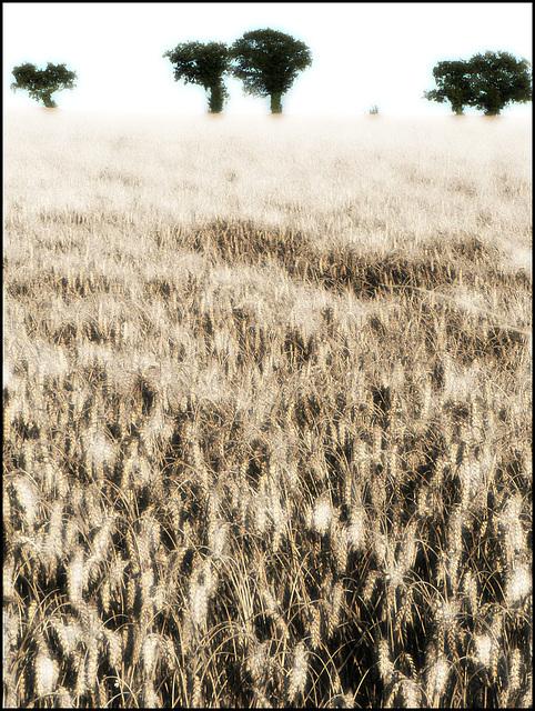 Les blés I