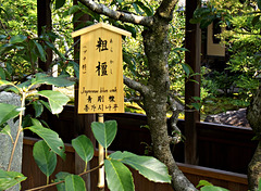 Japanese blue oak