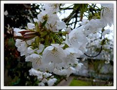 ** Fleurs de cerisier **