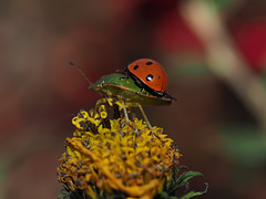 Shield Bug & Lady Bug