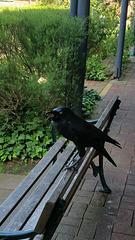 Forest raven South Australia