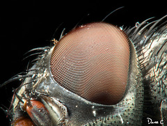 House Fly - Compound Eye