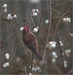 The purple finch with the colour