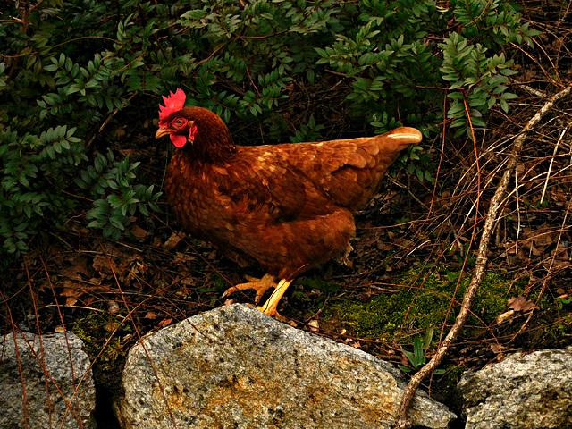 je trouve pas mes poulettes