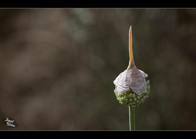 314/366: Garlic Marathon 6/9--Pointed Hat