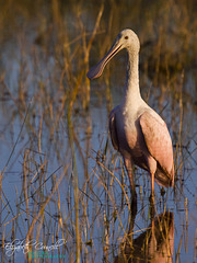 Young Roseatte Spoonbill
