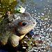 Wishing frogs