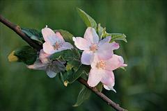 Apfelblüte 2016