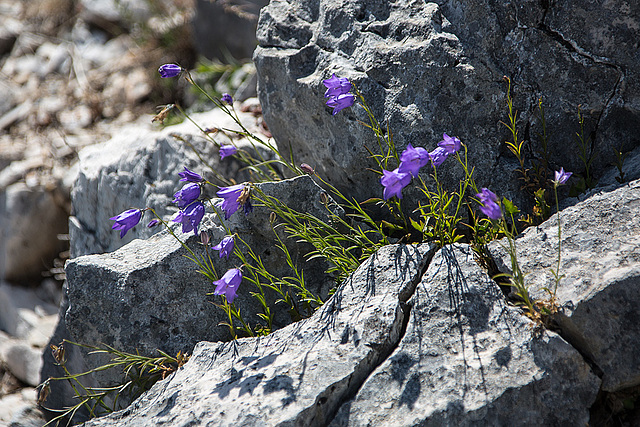 20150529 8307VRAw [R~F] Glockenblume, Gorges du Verdon, Cote d'Azur